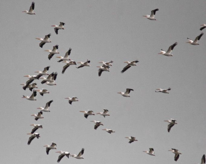 group, American, white pelicans, flight