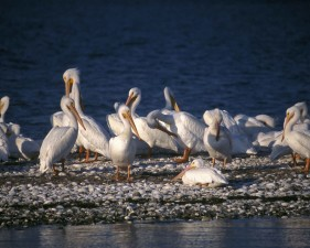 group, white pelican, birds, pelecanus, erythrorhynchos, standing, water