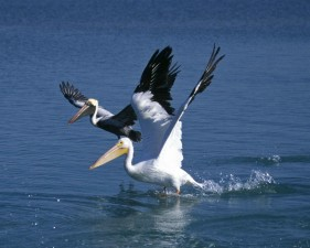 mature, immature, white pelican, birds, water, pelecanus, erythrorhynchos