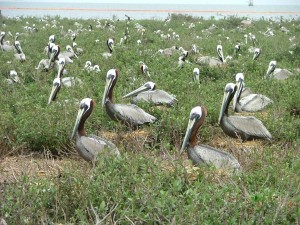 nesting, brown, pelicans, bird