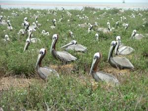 nesting, brown, pelicans, bird, bird, crane, pelican