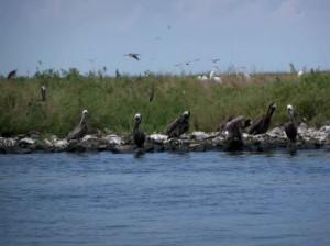 oiled, pelicans, birds