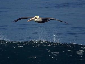 pelican, albatross, seabird, bird, pelican