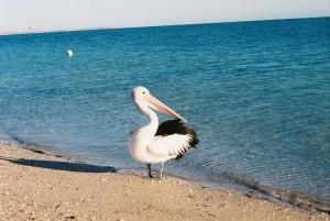 pelican, bird, pelecanus, conspicillatus