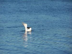 pelican, eating, fish