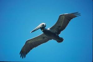 pelican, flight, pelecanus occidentalis