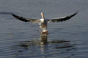 pelican, skiing, water