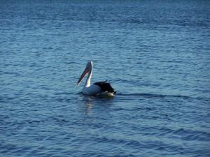 鹈鹕, 游泳