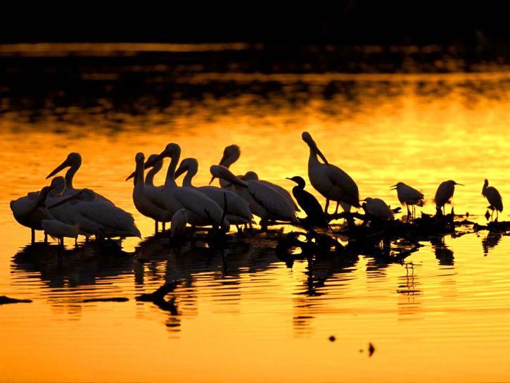 pelikánok, naplemente