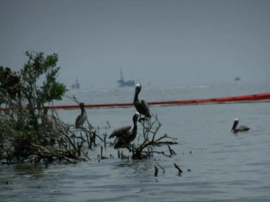 pelicans, covered, oil, sit, gulf, coast