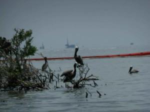 鹈鹕, 盖, 油, 坐, 海湾, 海岸