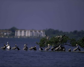 pelicans, island, wilderness, refuge, Florida