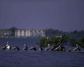 pelicans, island, wilderness, refuge, Florida