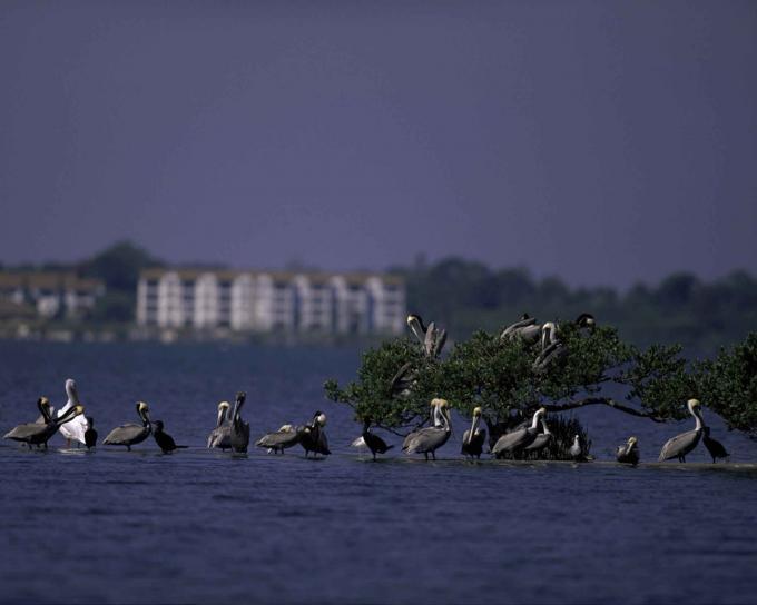 鹈鹕, 海岛, 荒野, 避难所, 佛罗里达