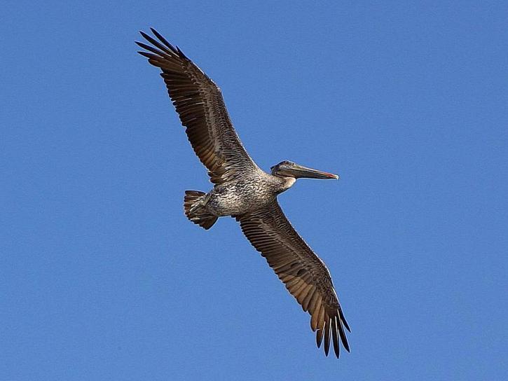 pelikánok, szárnyakat, repülést