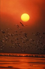 scenic, white pelicans, flying, water, sunset