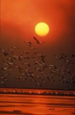 风景秀丽, 白色鹈鹕, 飞行, 水, 日落
