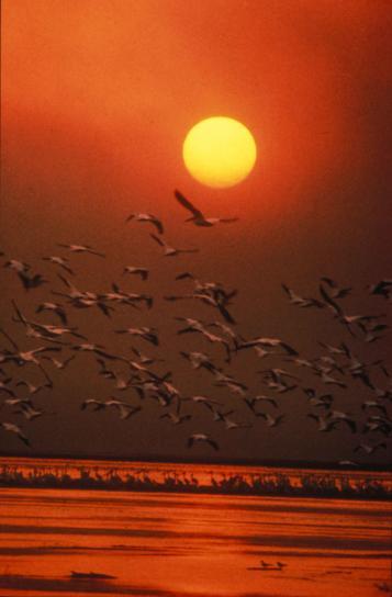 festői, fehér pelikánok, repülő, a víz, naplemente