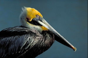 oldalon, barna, pelikán, madár