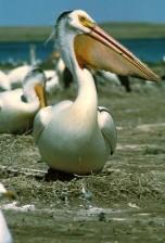 fehér pelikán, madár, pelecanus erythrorhynchos, magas, meghatározás, Fénykép