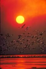 fehér pelikán, haze