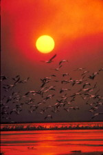 white pelican, haze