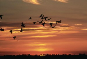 bijelih pelikana, letenje, večer, sunčana