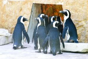 pingouins, zoo