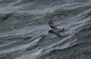 fork, tailed, storm, petrel, bird, flying, water