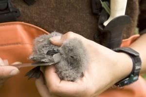 fourche, queue, tempête, pétrels, poussin, oiseau, mains
