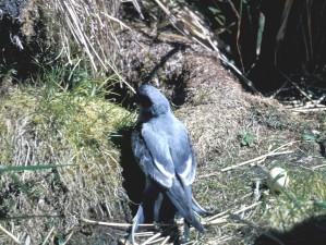 Petrel birds