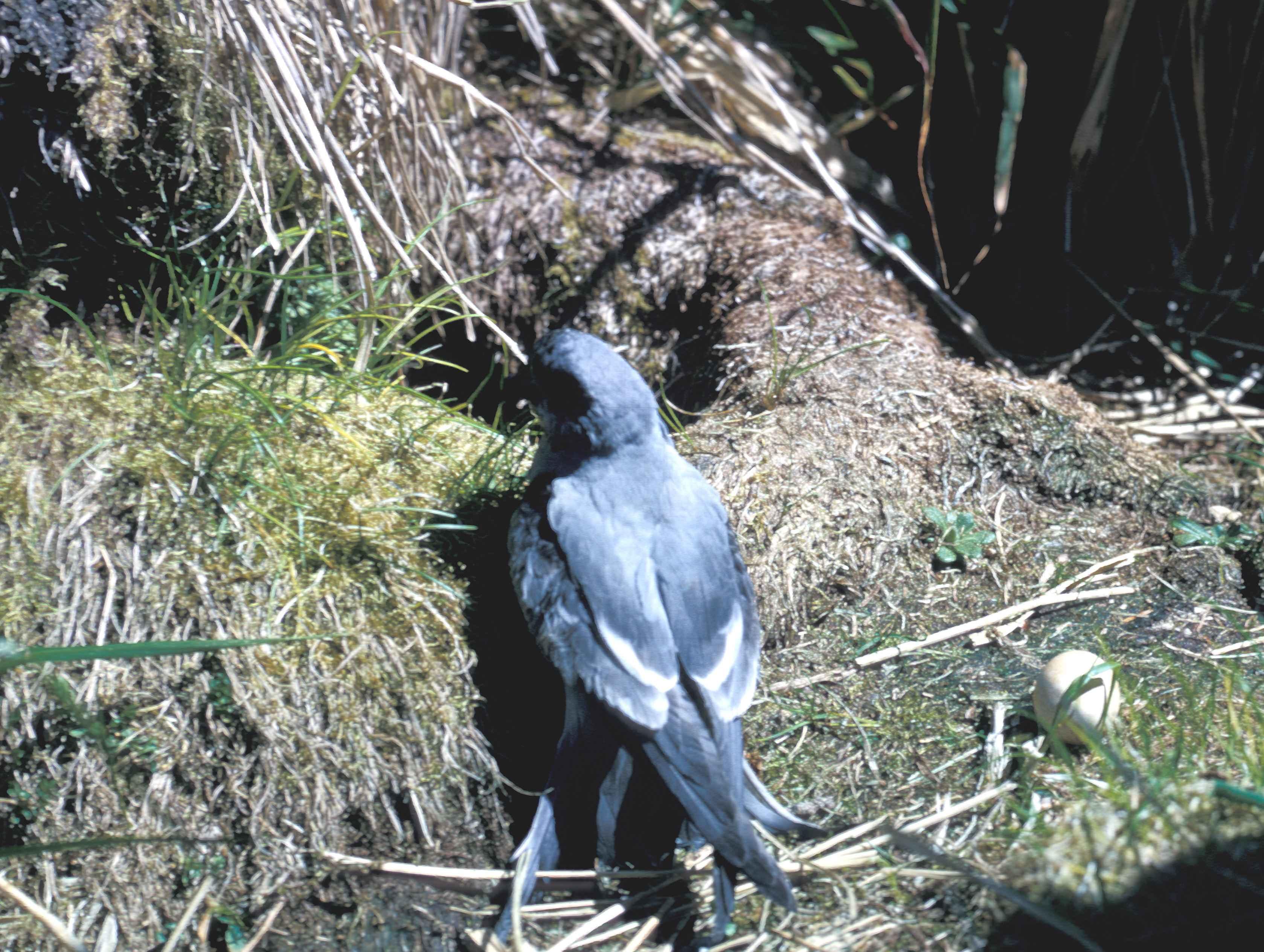 Oiseaux de Pétrel