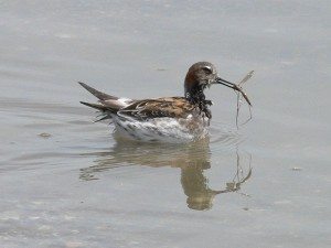 female, red, necked, phalarope, bird, duck, phaloropus, lobatus