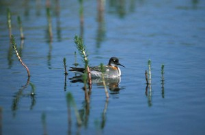 northern phalarope, red, necked, phalarope, bird, phalaropus, lobatus