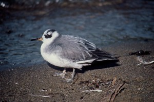 phalarope, fulicaria, oiseau