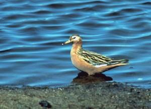 phalarope, fulicaria, shorebird, red, phalarope