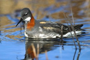 red, necked, phalarope, water