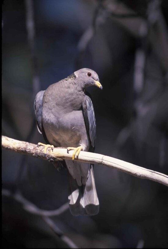 banda, cu coadă, porumbei, păsări, sus, corp, capul, patagioenas fasciata