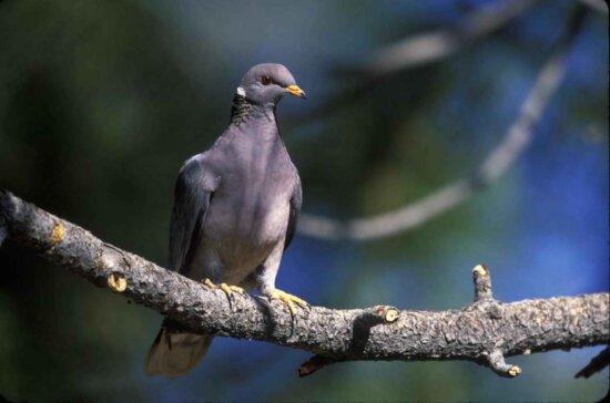 trupa, coada, porumbei, păsări, copac, filiala, patagioenas fasciata