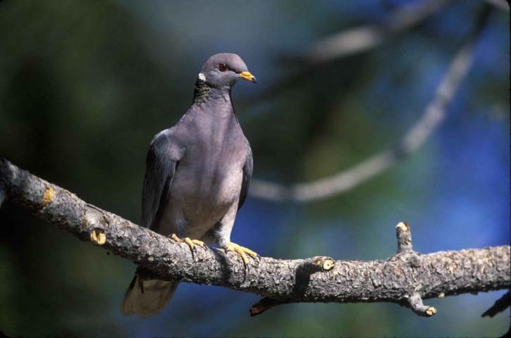band, tailed, pigeon, bird, tree, branch, patagioenas, fasciata
