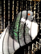 big, male, pigeon, bird, animal