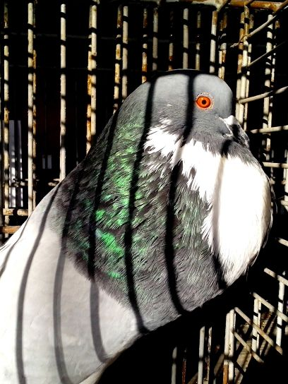 big, male, pigeon, bird, animal