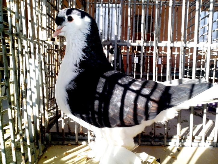 black and white pigeon, posing