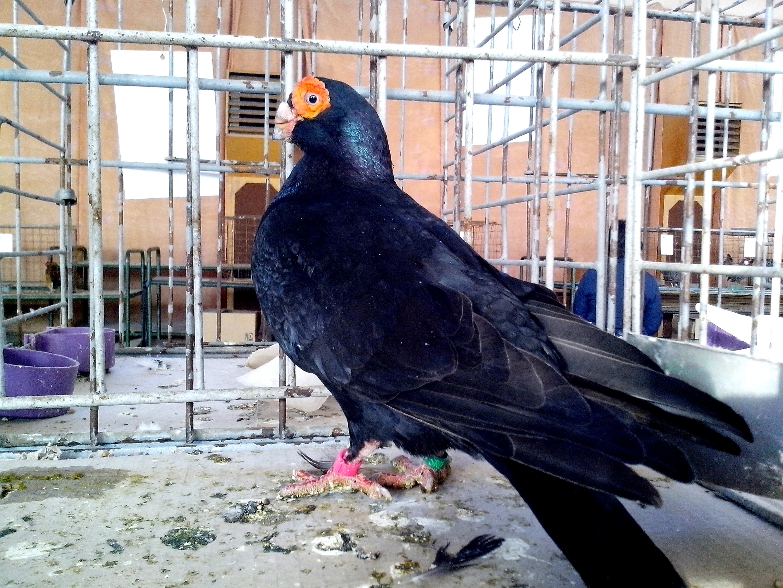 Free photograph; black, Indian, pigeon