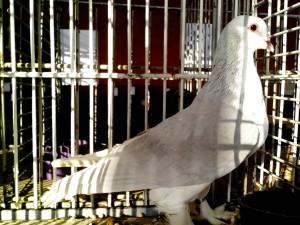 brillante, gris, paloma blanca