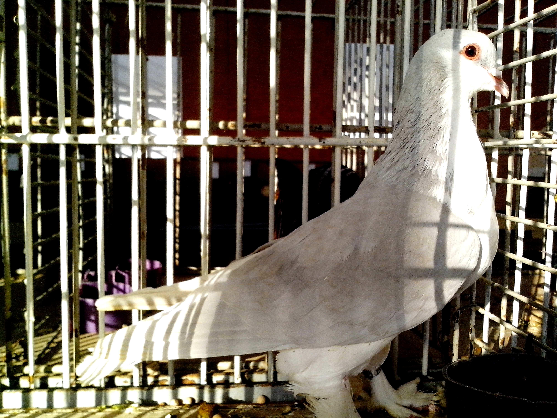 Free photograph; bright, gray, white, pigeon