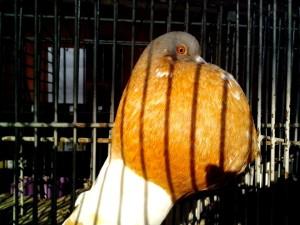 brown, male, gusano, pigeon