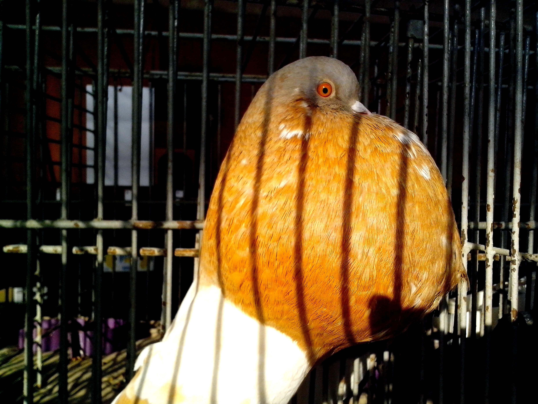Free photograph; brown, male, gusano, pigeon