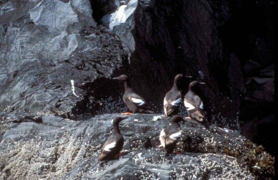 cepphus columba, porumbelul, guillemot, păsări, rock