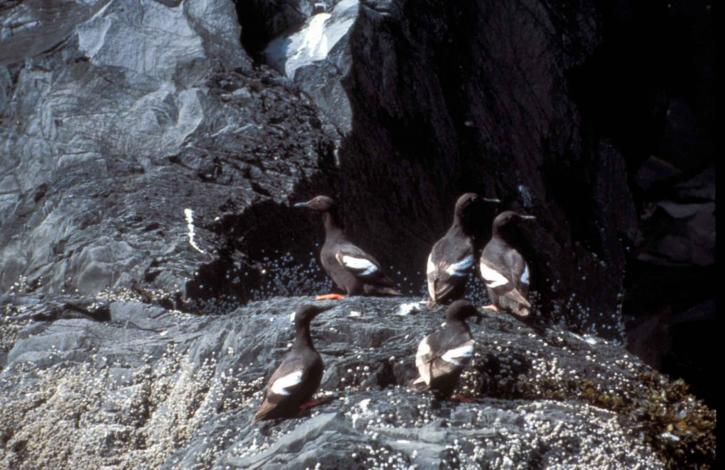 cepphus, columba, pigeon, guillemot, birds, rock
